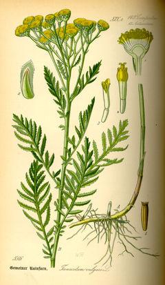 tansyplant.jpg